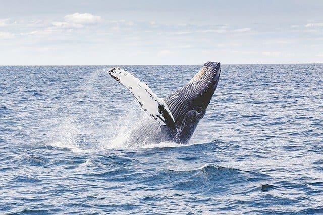 Temporada de avistamiento de ballenas en Sydney - cuando es mejor viajar a Australia